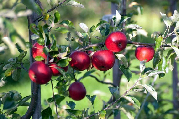 aepfel-rot