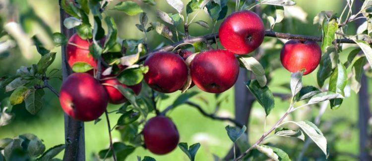 apfelbaum-rot